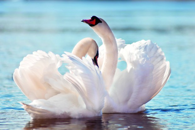 Swans - both gorgeous and interesting!