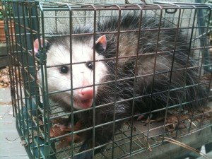 Opossum Trapped