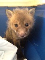 Baby Fox Trapped
