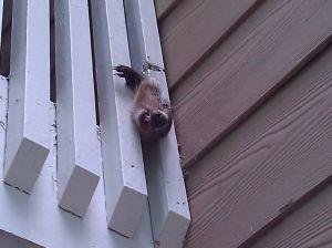 Woodchuck stuck in balcony railing in Buckhead