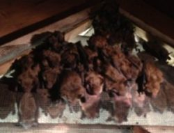 Bat Colony in attic