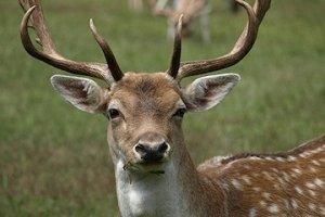 deer in johns creek GA
