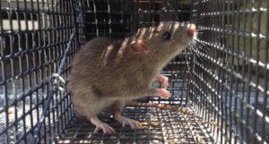johns creek rat