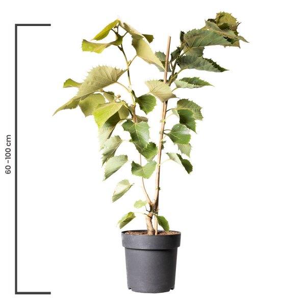 Animal Tree Linde, die schönste Art der Tierbestattung, Baum der Erinnerung