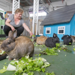 A Small Brown Bunny chews some crisp green leaf lettuce off the ground as a human squats down behind them offering lettuce to a different bunny
