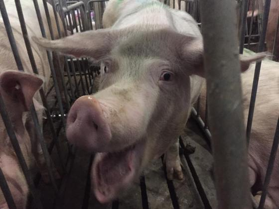 Pig in crate of Excelsior Hog Farms in Abbotsford, BC, Canada