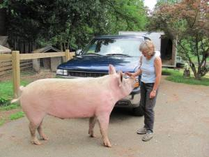Janice Gillett and one of her 40 pigs.