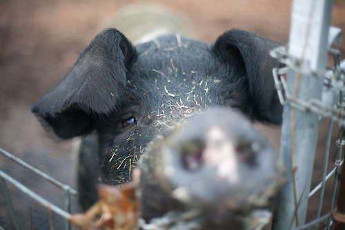 One of the lucky souls who gets to live out the rest of her days at Pigs Peace.  Photo by Alissa Raye