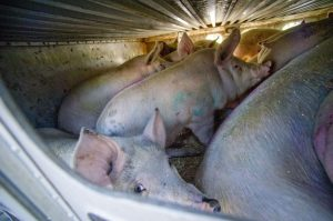 pig-trailer