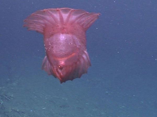 Морской огурец, Enypniastes, плавает так изящно над дном, что они часто путаются с медузой.