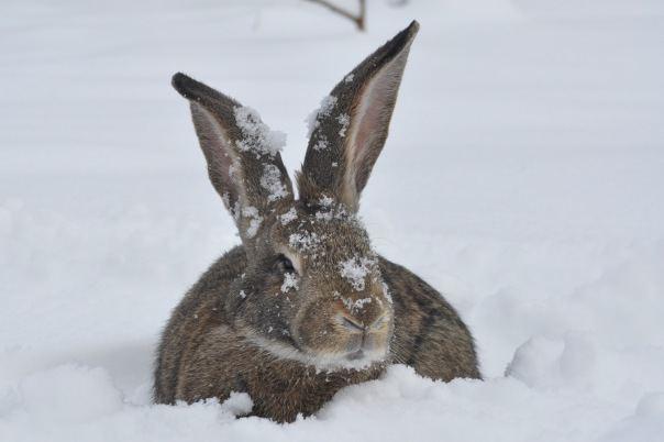 """Vaizdo rezultatas pagal užklausą """"домашний кролик на снегу"""""""