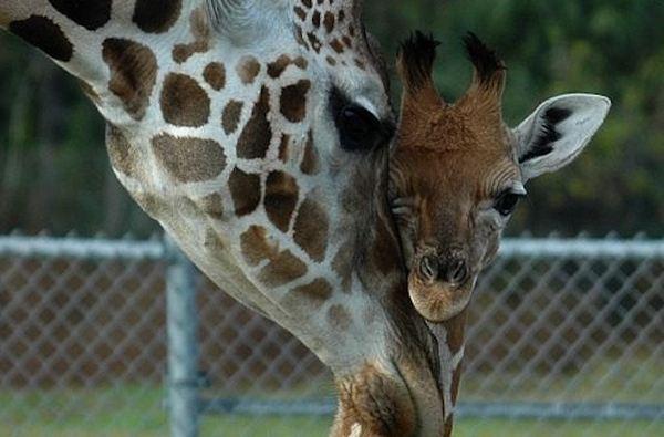 Как зовут у жирафа детеныша. Интересно, как называется детеныш жирафа? Жирафенок? Названия детенышей животных