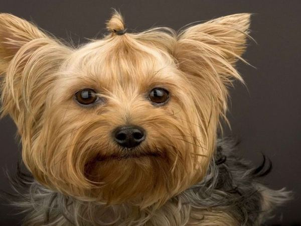 Йоркширский терьер (англ. Yorkshire terrier) — одна из ...