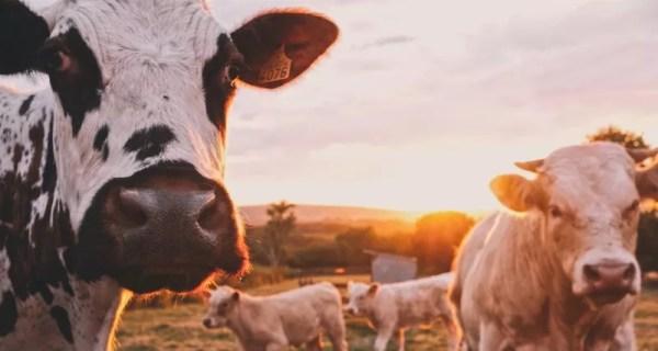 Навоз коров впервые стал частью национальной ...