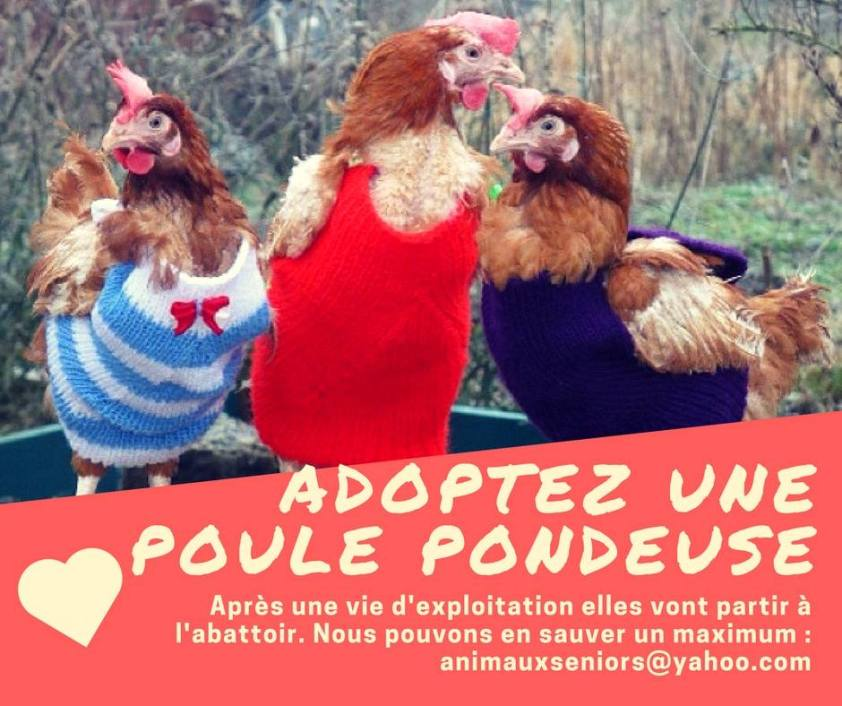 Adoption Poules