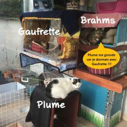 Sauf que... DRAME ! Brahms est aussi le matou adoré de Gaufrette !!!! Et il ne rechigne pas à lui accorder son attention. Quand Plume les voit ensemble, elle va sur place démontrer son mécontentement !