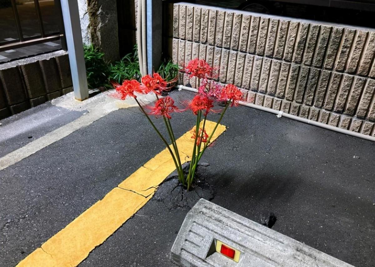 日本停車場裡長出了彼岸花,結果動漫愛好者們紛紛玩起了梗