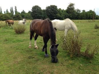 Horses Epping