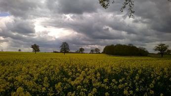 Yellow Flower Fields Shire