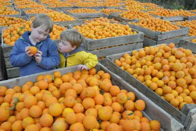 children look at crates of oranges during the orange harves in Andalusia Spain
