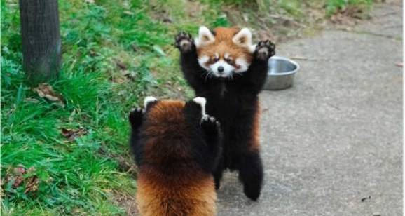 [Cute Animals] Red Pandas Raise Their Claws to Surrender!