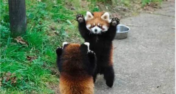 [Cute Animals] Red Pandas Raise Their Claws to Surrender!