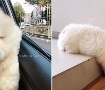 [2020] The Most Popular Adorable Dog on Instagram!Who can resist its Fluffy Hair + Blinking Eyes + Short Legs?