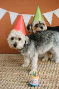 adorable small dogs in party hats on birthday party