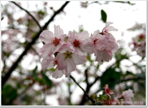 99.03.14 石門風力發電站+筠園+朱銘美術館+天元宮賞櫻 @愛吃鬼芸芸