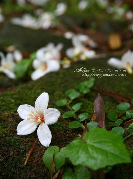 2011油桐花季-油桐花步道 @ 山行玫瑰 (5/5)
