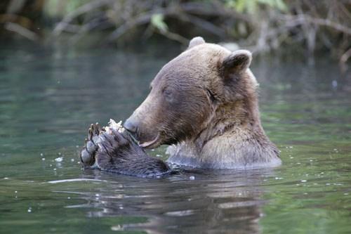 Redoubt_Bay_Bear2.jpg