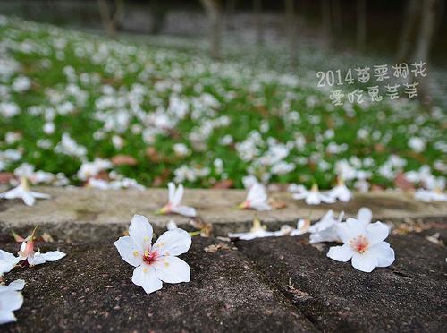 2014油桐花_086.jpg