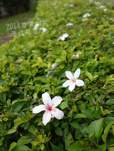 2014油桐花_087.jpg