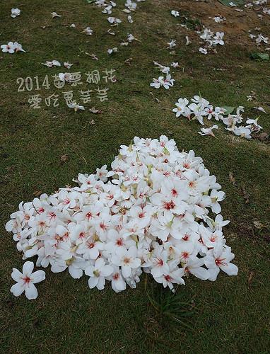 2014油桐花_092.jpg