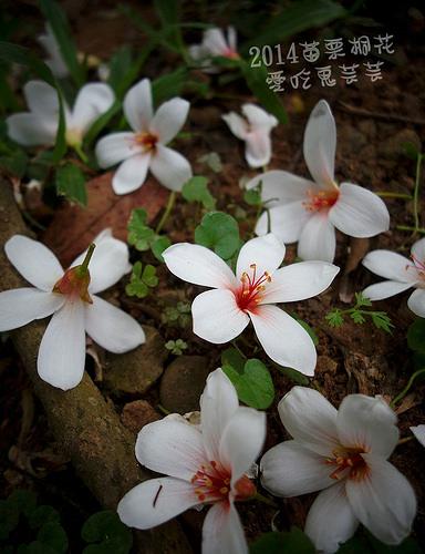 2014油桐花_099.jpg