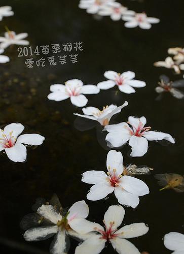 2014油桐花_023.jpg