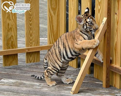 環尾狐猴互動、超口愛小老虎@六福莊生態度假旅館 (圖多)