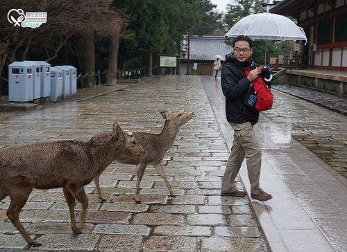 關西.奈良鹿公園+東大寺,梅花鹿可愛又可恨!