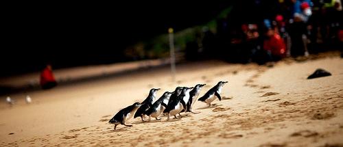 澳洲墨爾本.市區半日遊、企鵝島看企鵝搖擺屁股回家
