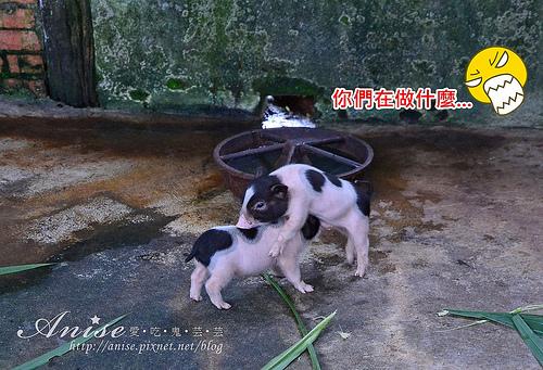 宜蘭冬山.宜農牧場,小小豬好可愛啊啊啊! @愛吃鬼芸芸