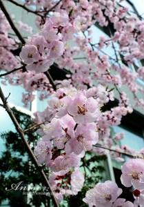 今日熱門文章:2013汝矣島櫻花~賞櫻只賞到花苞!(拍攝日期:2013.4.4)