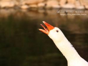 今日熱門文章:【苗栗民宿體驗】土牧驛的大壞鵝、野溪楓葉、夜間捕蝦特別篇