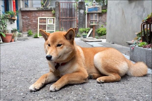 斗宅商社 | 花蓮博愛特區,有可愛的柴犬-黑柴斗財和赤柴囍妹