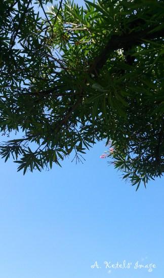 Olive Tree Bellaggio