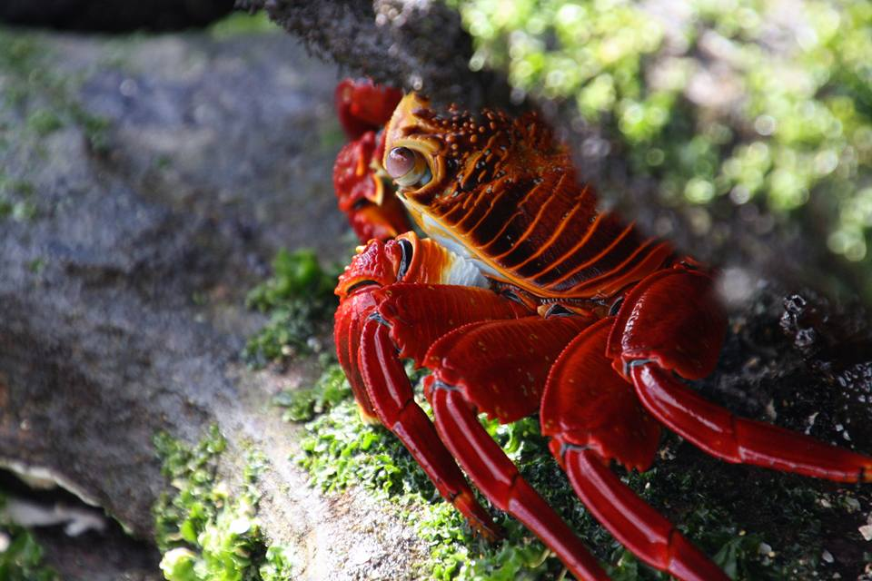 Galapagos crab - Traveller's Tales | Justine's South American Journey