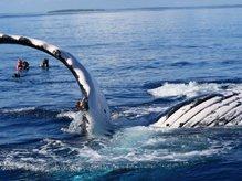 whale swim - Swim with Whales
