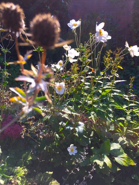 Herfsttuin ,Japanse anemoon