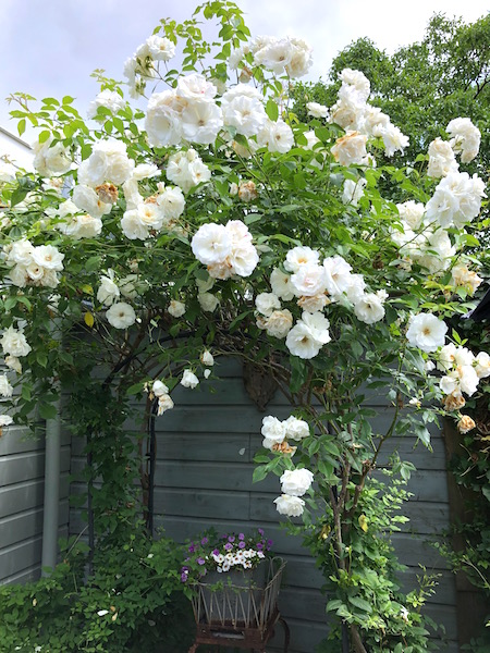 tuingek rozenboog