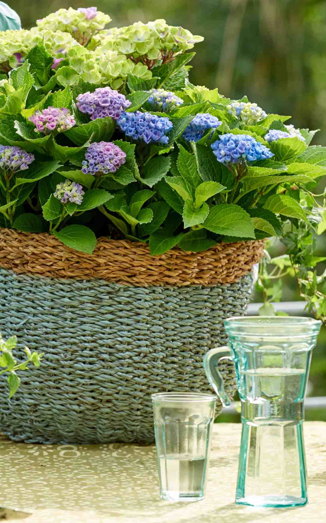 hortensia- kleur in de tuin