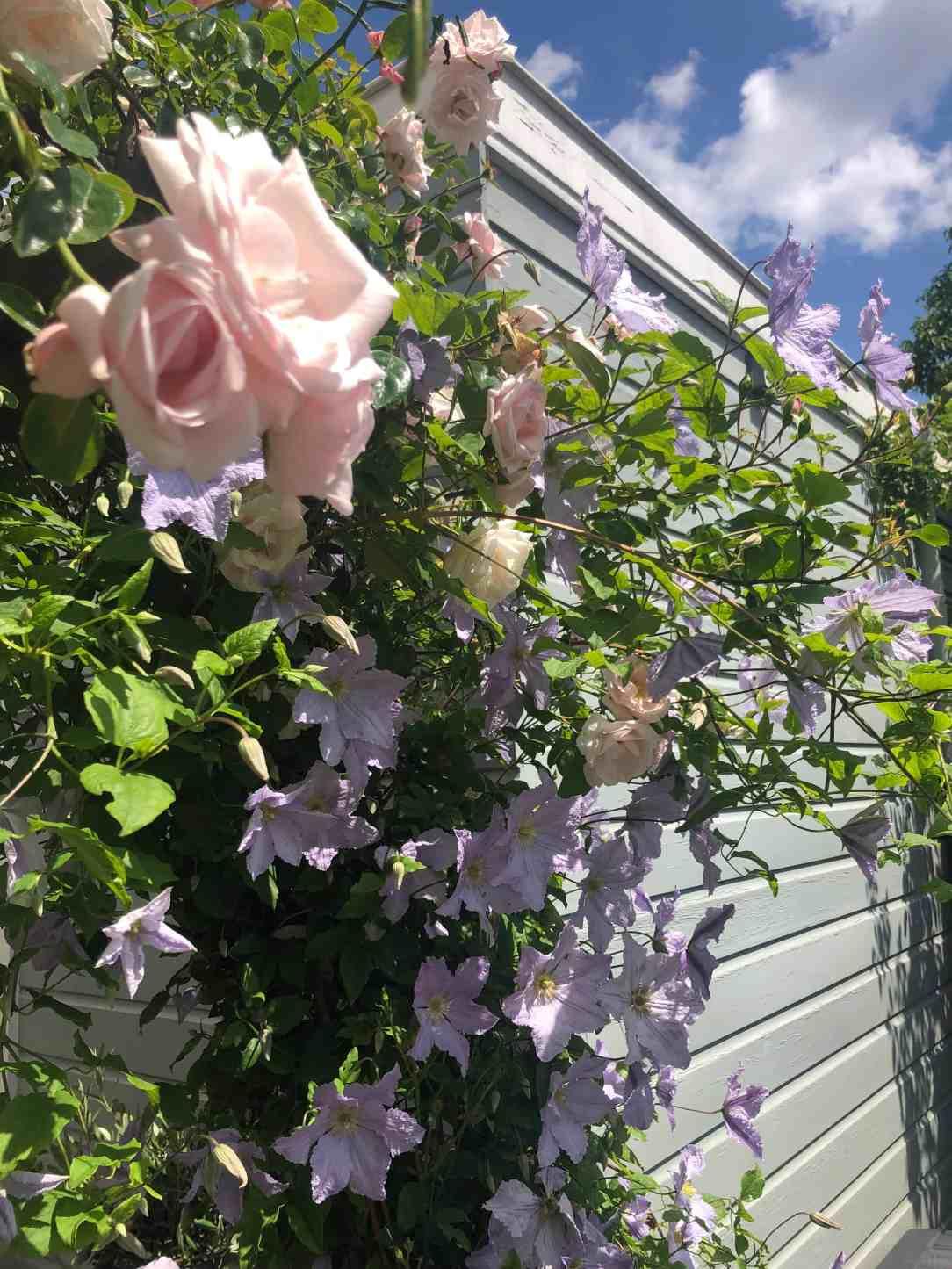 Rosa New Dawn-Clamatis